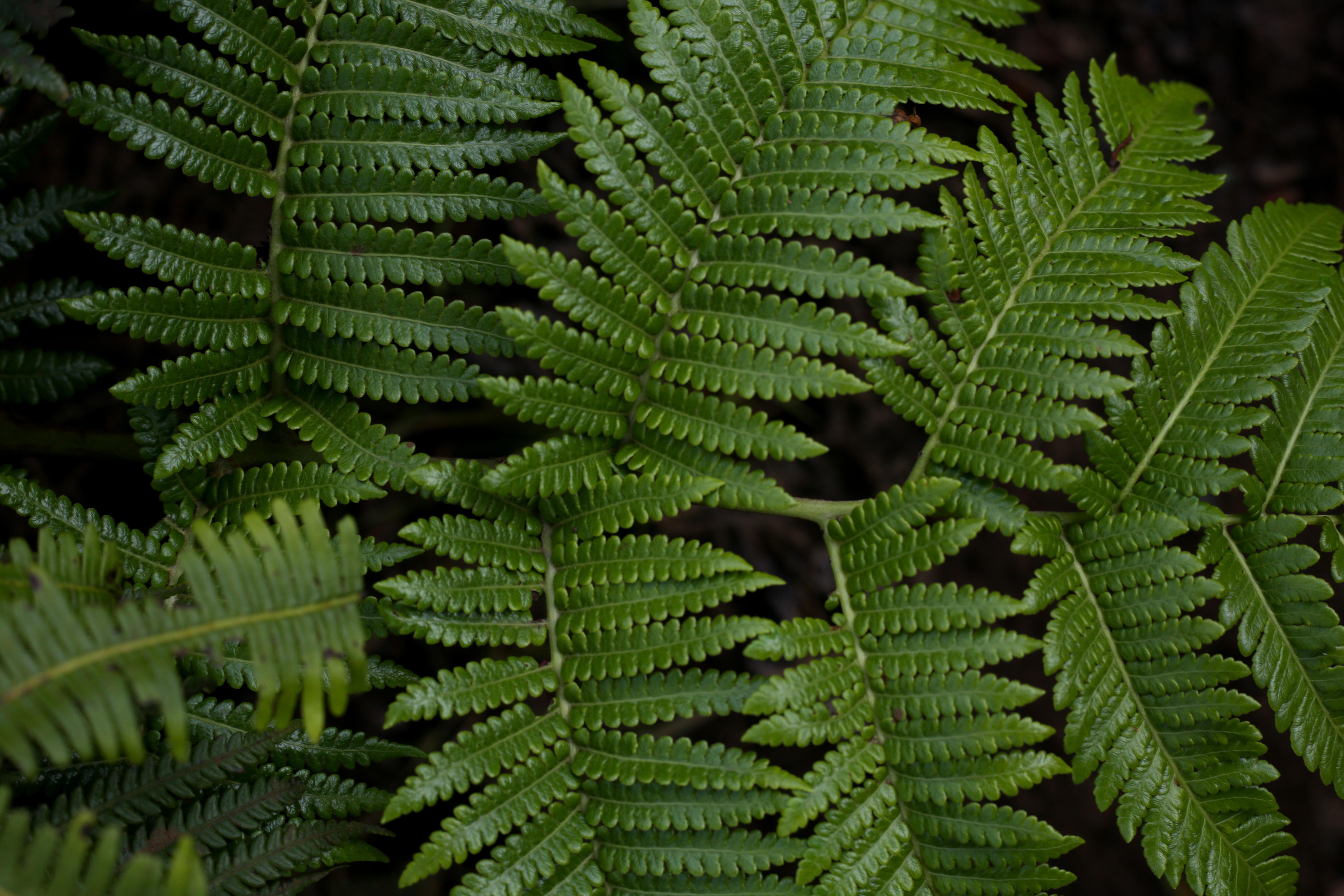 Ferns in Kauai