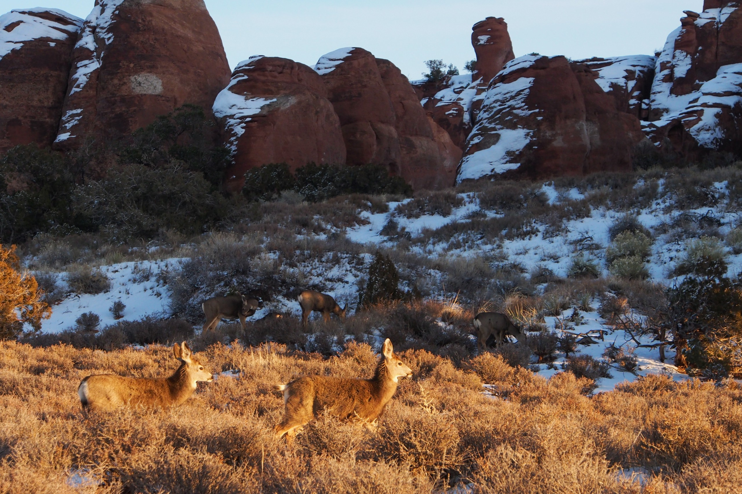Mule Deer grazing in Arches National Park